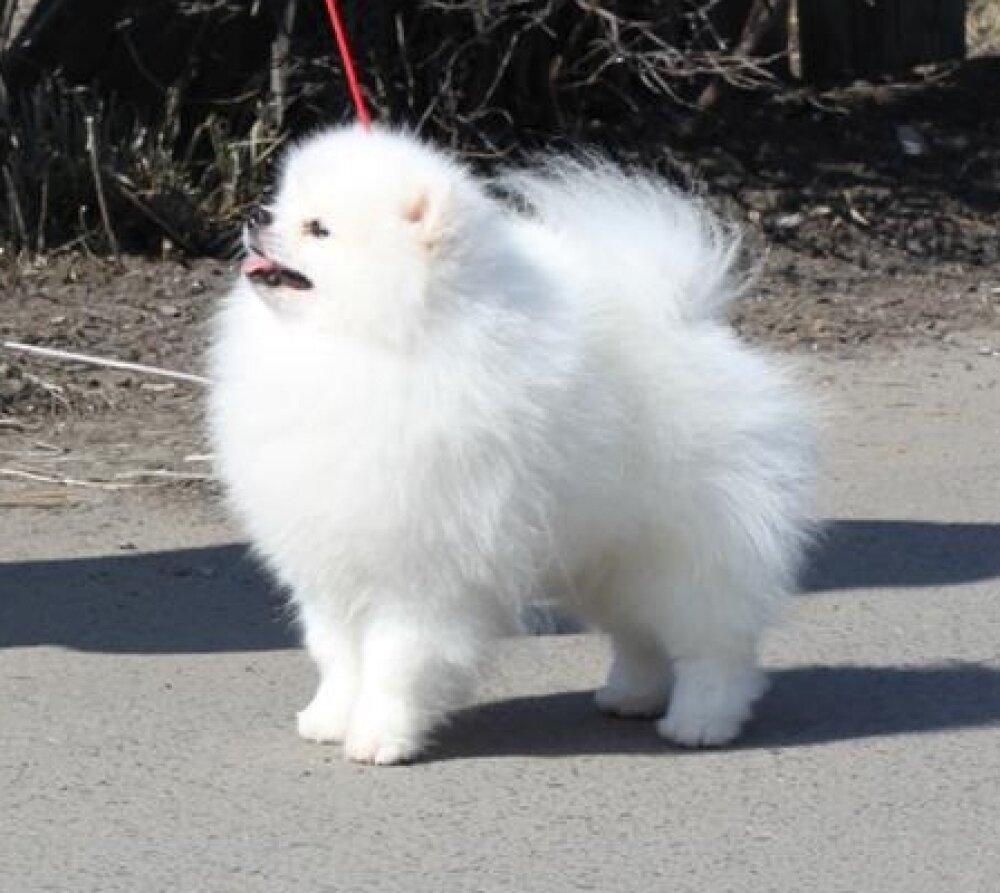белый померанский шпиц фото
