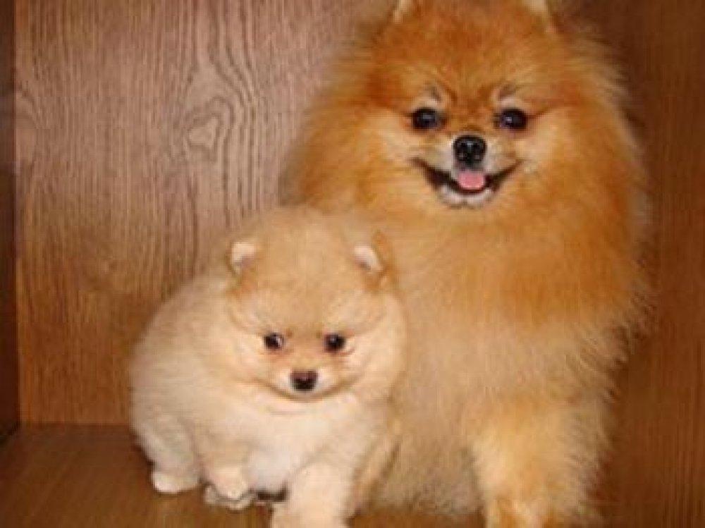 Малый шпиц фото взрослых собак
