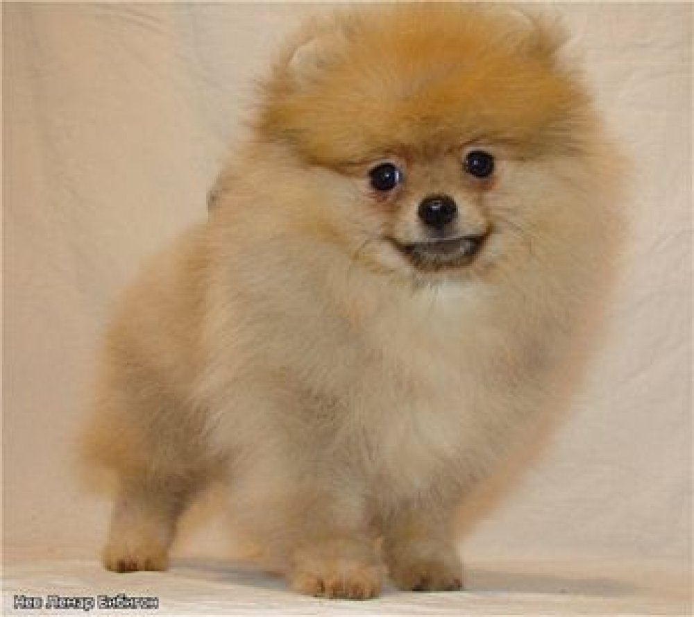 bibigon Nev Lemar Bibigon Pomeranian