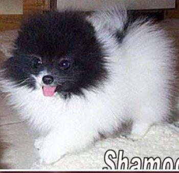 Finch's Shamoo Parti