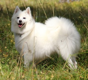 Мицука Белая Сакура