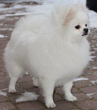 Белый Клык Снежная Лилия