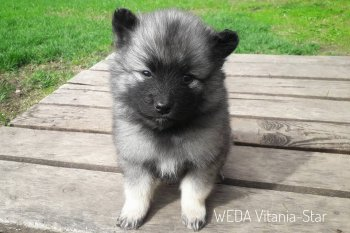 Weda Vitania-Star