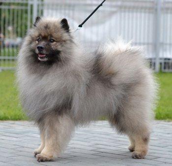 Schone Hund Zaberu Tituly