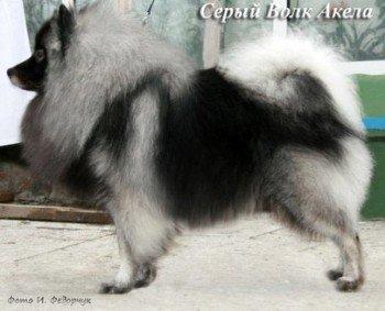 Серый Волк Акела