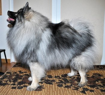 Schone Hund Dandy Diadem