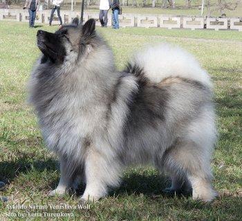 Astaldo Narmo Venislava Wolf