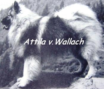 Attila v.Wallach