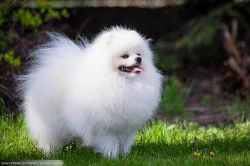 New Pomeranian Bambo