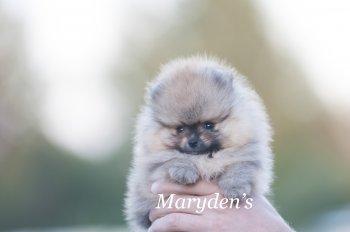 Мэриден'с Велвет Уандер