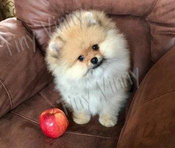 Tiny Vinny Marzipan