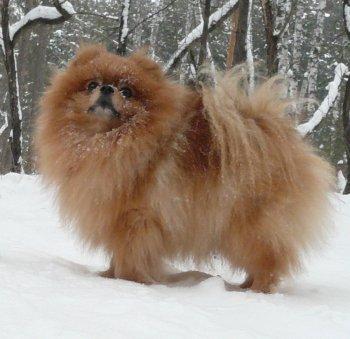 Дворцовый Пёс Руди