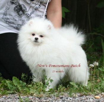 New's Pomeranians Butch