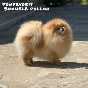 Pomfavorit Brunela Pollini