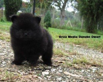 Briza Media Danube Dwarf