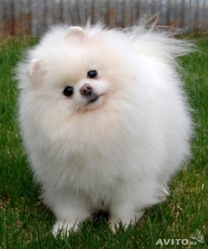 New's Pomeranian Edition