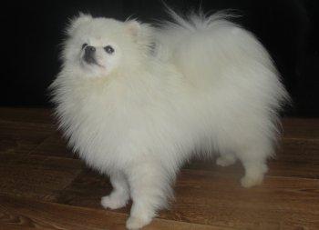 New's Pomeranian Sunsun