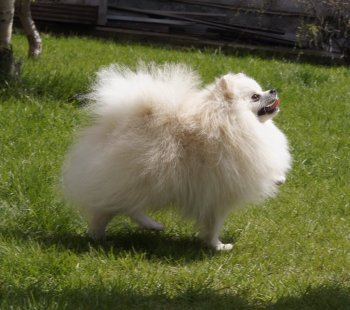 Snow Dinasty White Lion Of Athens Kennel