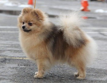 Natali -Dog Zolotaya Mechta Dlya Svit Pich
