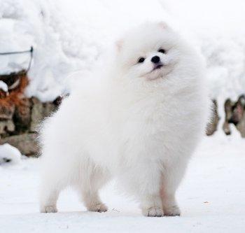 Снежная Династия Даймонд Блонд