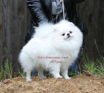 New's Pomeranian Joaan