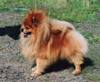 Trigger Of A Gun Of Pomeranian World