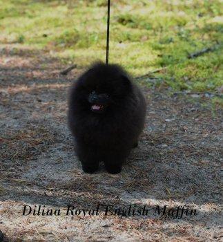 Dilina Royal English Muffin