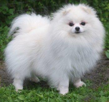 New's Pomeranian Boomer