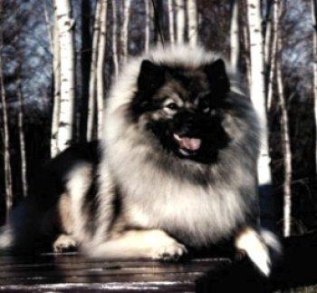 Klompen's Kisshound Kate Com