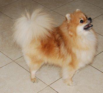 Мини Собачка Валенсия