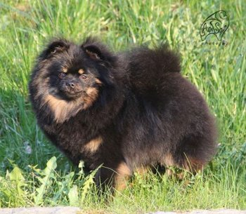 Shone Hund Vita Fonn En'koff
