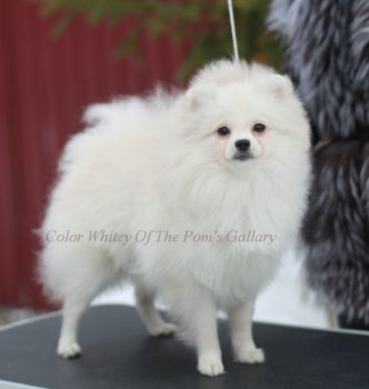 Color Whitey Of The Pom's Gallary