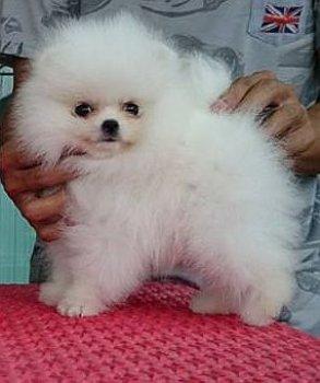New's Pomeranian Bekky