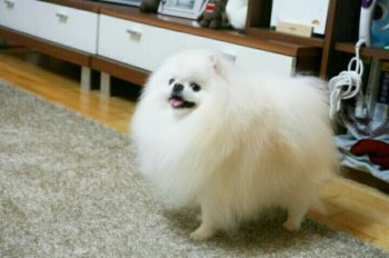 Tank Of White Pom
