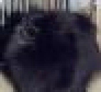 Pygmalion De Cat Pat