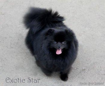 Exotic Star Tsa-Tsa