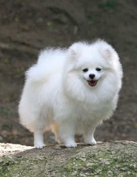 Dog Hi's Blossom