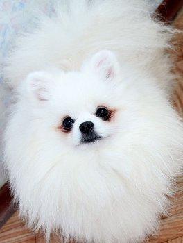 New's Pomeranian's Bo0Mer
