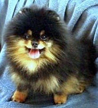 Avalon's Lancelot Of Tlc Poms