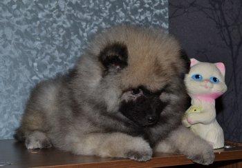 Schone Hund Yarochka Negnaya