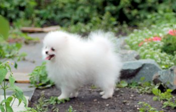 New's Pomeranian Jackky
