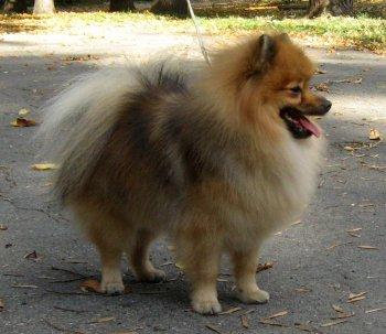http://spitz.su/tn/350x350/dogs/photo_8483.jpg